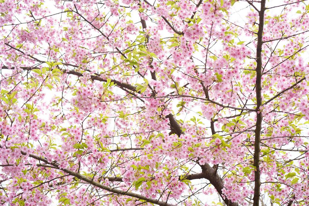 笠戸島家族旅行村 河津桜