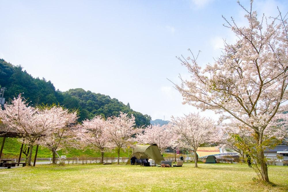 萩阿武川温泉公園 桜1