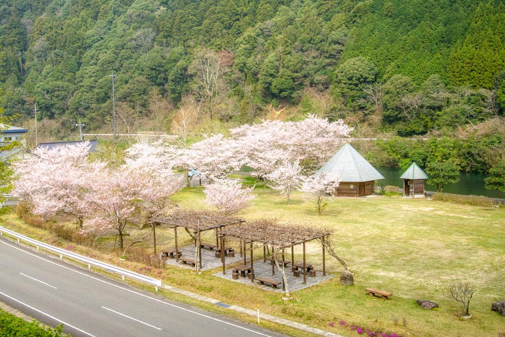 萩阿武川温泉公園 桜2