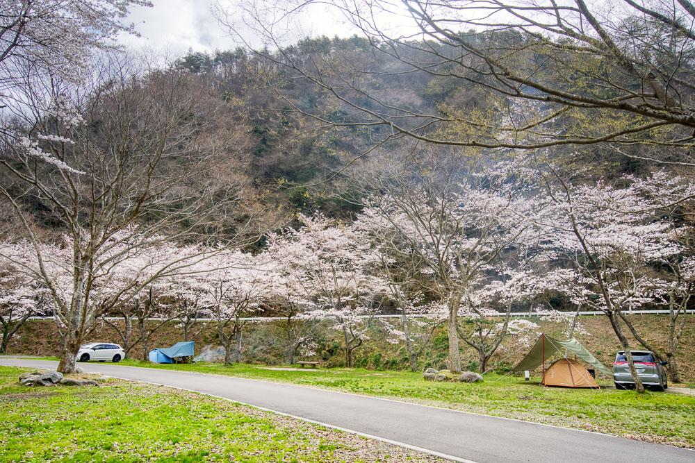 新平ヶ原公園 桜
